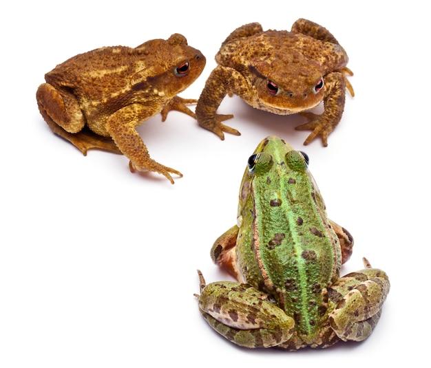 Gemeenschappelijke europese kikker of eetbare kikker (rana kl. esculenta) tegenover twee gewone padden of europese pad (bufo bufo)