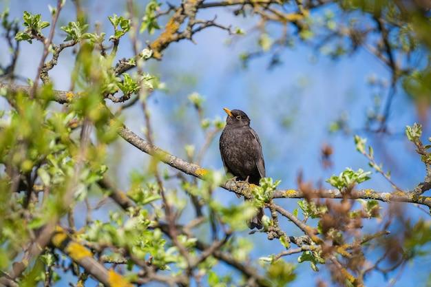 Gemeenschappelijke europese spreeuwvogel of sturnus vulgaris zat op een tak van een boom in de lente, oekraïne