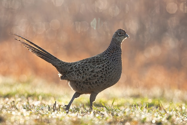 Gemeenschappelijke fazant kip lopen op weide in het voorjaar regent