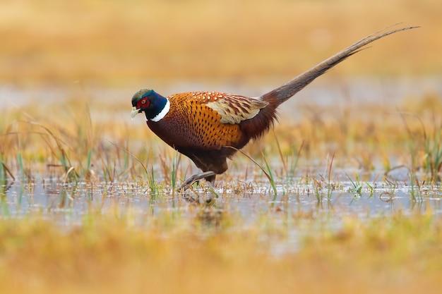 Gemeenschappelijke fazant, phasianus colchicus, wadend op moeras in de herfstnatuur