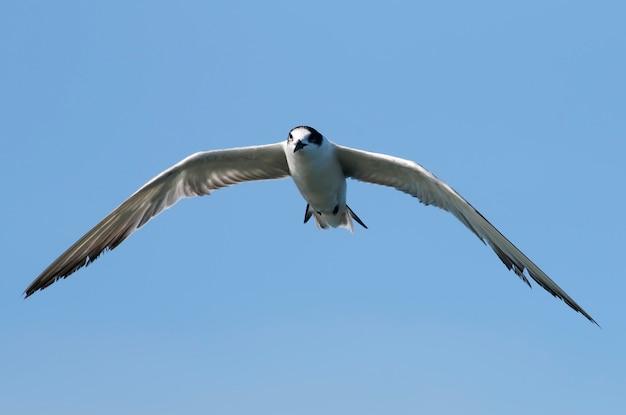 Gemeenschappelijke hirundovogel die van sternsterna op blauwe hemel vliegen
