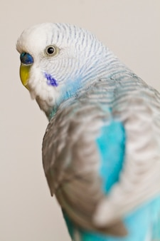 Gemeenschappelijke huisdierenparkiet Premium Foto