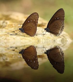 Gemeenschappelijke indische kraaivlinder (euploea-kern lucus) met waterbezinning