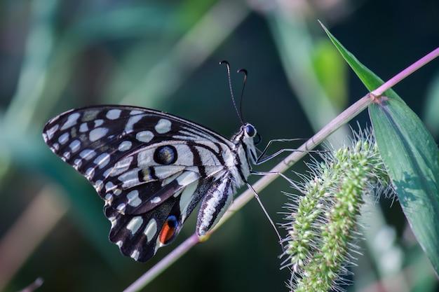 Gemeenschappelijke kalkvlinder in zijn natuurlijke habitat