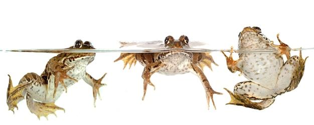 Gemeenschappelijke kikker