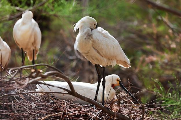 Gemeenschappelijke lepelaar in nest