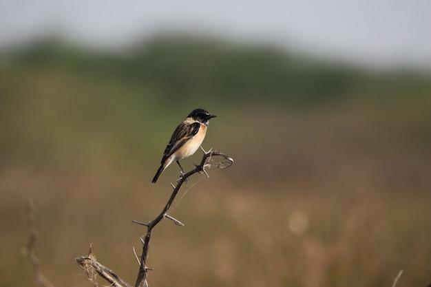 Gemeenschappelijke myna-vogel neergestreken op een boomtak