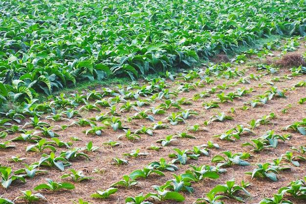 Gemeenschappelijke tabaksplantage boerderij Premium Foto