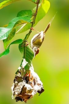 Gemeenschappelijke tailorbird het letten op kuikens bij nest op een boomtak. deze moeder is te voorzichtig voor haar jongeren.