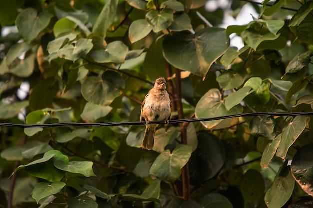 Gemeenschappelijke tailorbird op boom