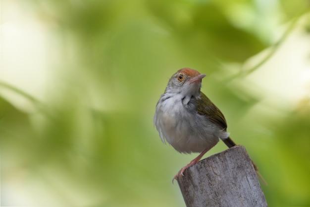 Gemeenschappelijke tailorbird op boomstronk. ruimte kopiëren