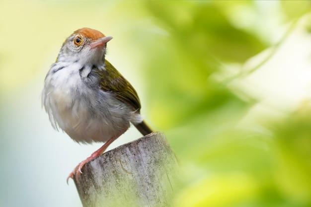 Gemeenschappelijke tailorbird op boomstronk