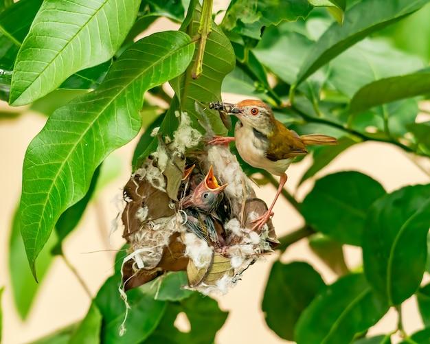 Gemeenschappelijke tailorbird voedende kuikens bij nest op een boom. deze afbeelding toont het pure moederschap van een gewone tailorbird.