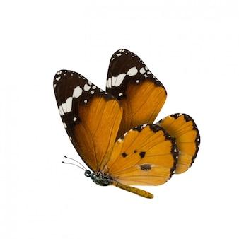 Gemeenschappelijke tijgervlinder