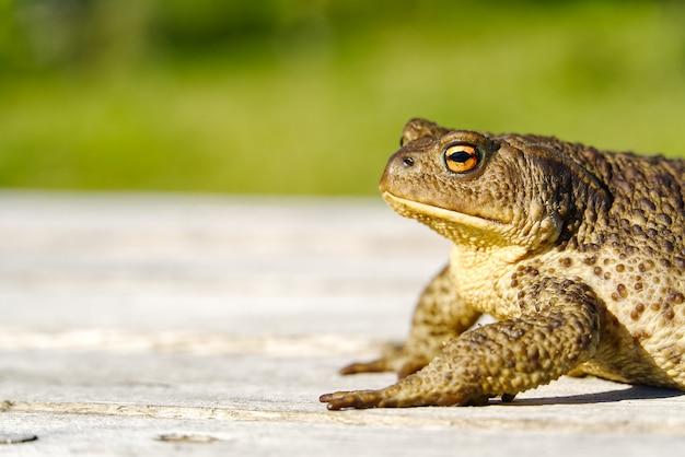 Gemeenschappelijke toad zittend op oude houten tafel.