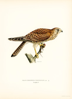 Gemeenschappelijke torenvalk (falco tinnunculus), geïllustreerd door de gebroeders von wright.