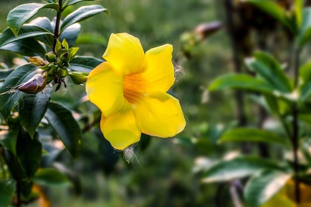 Gemeenschappelijke trompet of allamanda cathartica bloeide volledig gele bloem in een botanische tuin met kopieerruimte