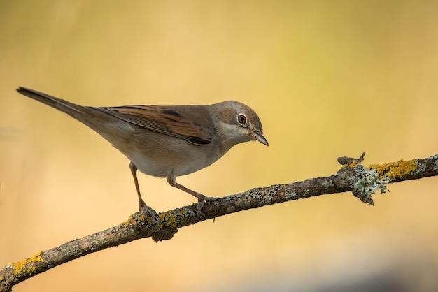 Gemeenschappelijke whintethroatvogel op tak met warm