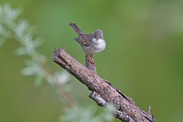 Gemeenschappelijke whitethroat (curruca communis) in broedkleed zit op een boomtak