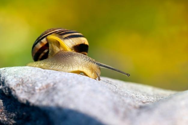 Gemeenschappelijke wilde slak die op rotsen kruipt