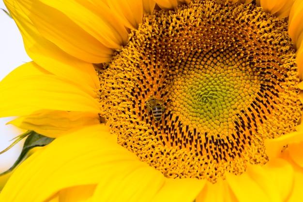 Gemeenschappelijke zonnebloem met gele bloemblaadjes close-up