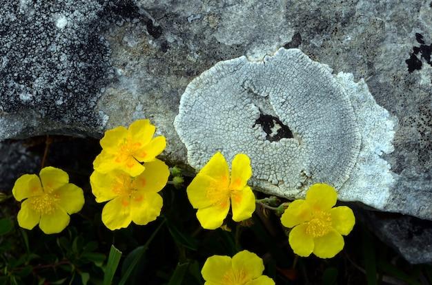 Gemeenschappelijke zonneroosjes (helianthemum nummularium)