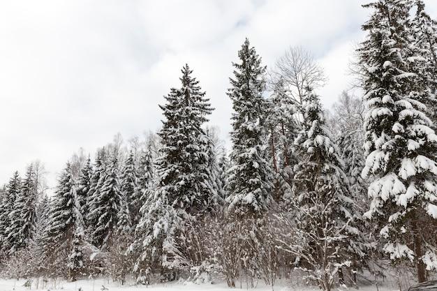 Gemengd bos met sparren in het winterseizoen in de sneeuw, winterseizoen van het jaar in het bos