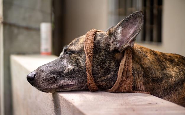 Gemengd ras herdershond op zoek verdrietig of ziek