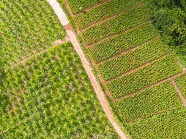 Gemengde plantage luchtfoto van het geploegde veld groene natuur agrarische boerderij achtergrond, bovenaanzicht gemberboom van bovenaf van gewassen in het groen, vogelperspectief oogst gember plant boerderij boomgaard fruit