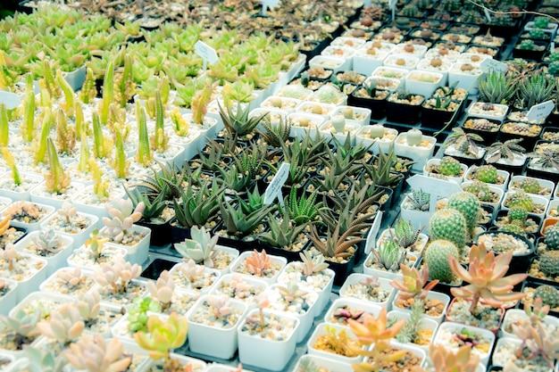 Gemengde vetplanten of cactus. kleine cactus in potten te koop.