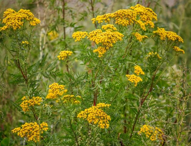 Geneeskrachtige gele boerenwormkruid bloemen groeien in de natuur.