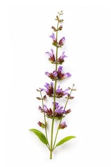 Geneeskrachtige plant van salie geïsoleerd op wit heeft gunstige eigenschappen die het menselijk lichaam beïnvloeden