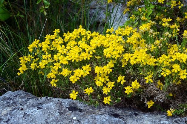 Genista (genista hispanica) in bloei