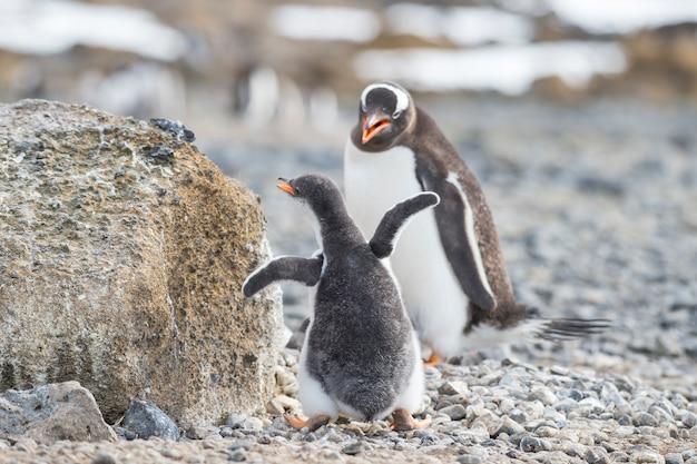 Gentoo penguin met kuiken