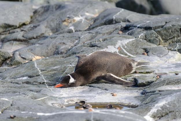 Gentoopinguïn die op rots in antarctica legt
