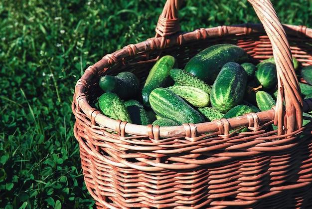 Geoogste komkommers in een rieten mand op groen gazon