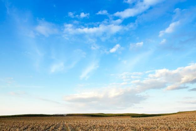 Geoogste rijpe maïs - landbouwveld, dat volwassen maïsoogst verzamelde, afgeschuinde vergeelde stengels van een plant van dichtbij, het herfstseizoen, blauwe lucht,