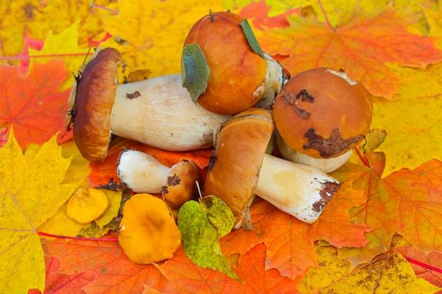 Geoogste wilde verse eekhoorntjesbrood op een veelkleurige herfst esdoorn bladeren