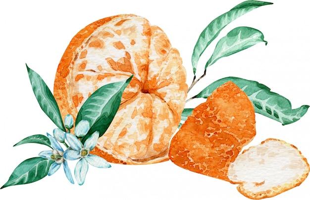 Gepelde mandarijn met bloemen en bladeren die op witte achtergrond worden geïsoleerd. aquarel illustratie.