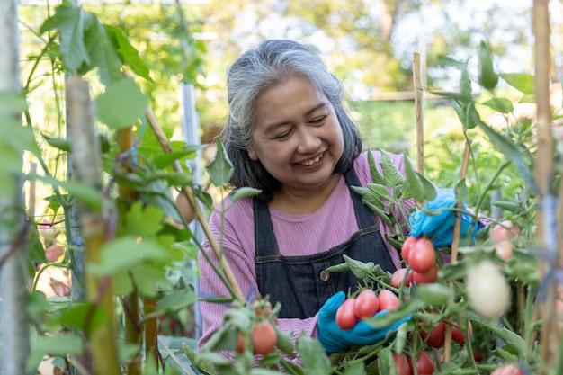 Gepensioneerde senior vrouw blij met rode tomaten in de moestuin.