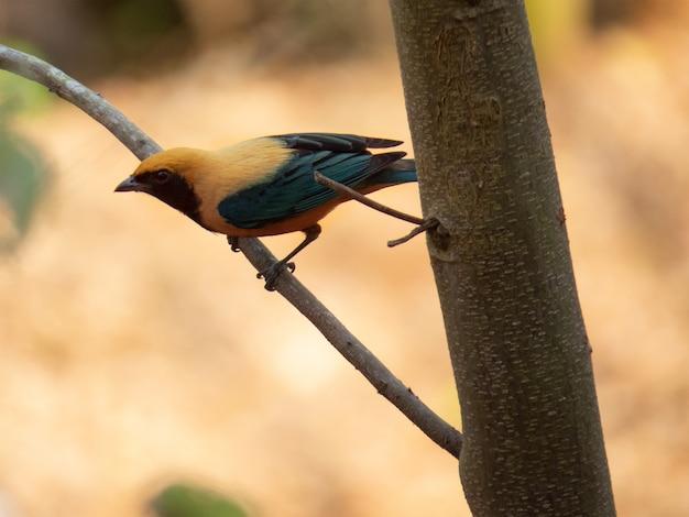 Gepolijste-buff tanager (cayana tangara) die op de tak van een boom in het braziliaanse regenwoud wordt geïsoleerd