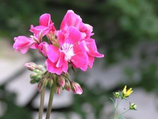 Geranium, bloem
