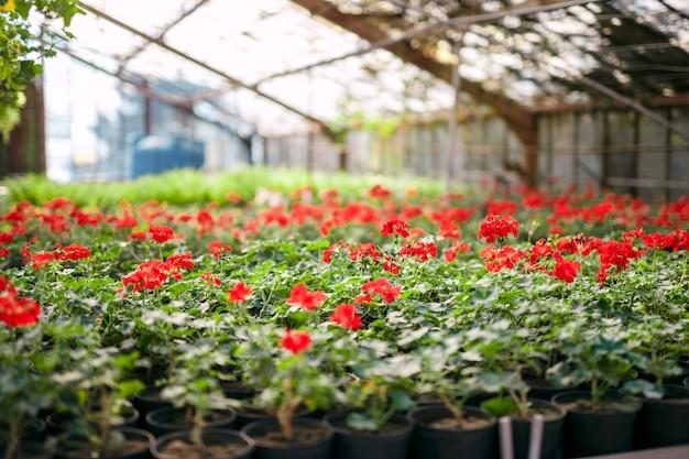 Geraniumpelargonium in serre van botanische tuin.