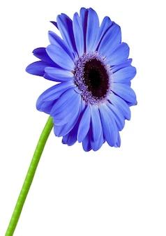 Gerbera blauwe bloem geïsoleerd op wit