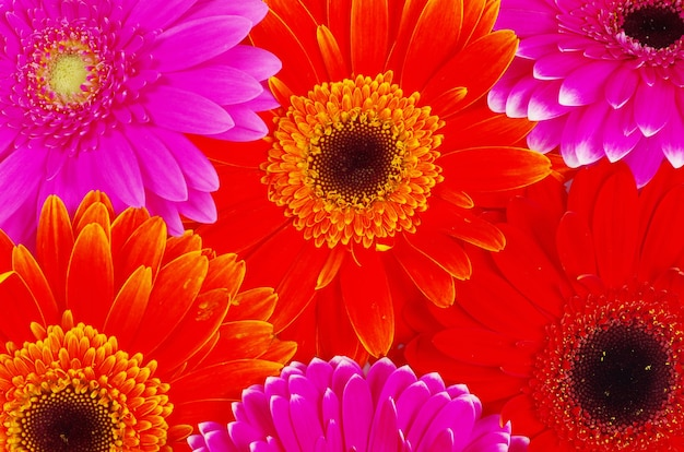 Gerbera bloem close-up achtergrond