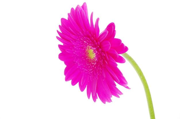 Gerbera bloem close-up op witte achtergrond