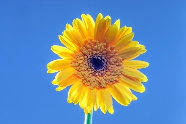 Gerbera bloem geïsoleerd op neutrale achtergrond bloem geïsoleerd op neutrale achtergrond