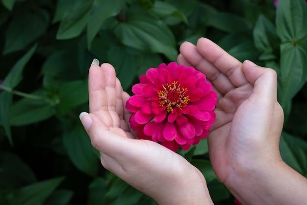 Gerbera bloem in de tuin, wetenschappelijke naam is gerbera jamesoni