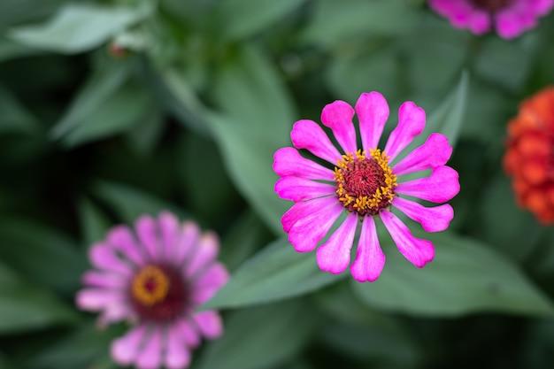 Gerbera bloem in de tuin, wetenschappelijke naam is gerbera jamesonii