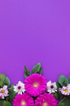 Gerbera madeliefjebloemen op violette exemplaar ruimteachtergrond